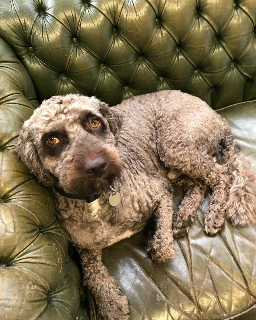 Brown Dog Laid On Green Leather Sofa